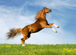 Chestnut Bavarian horse gallops in field