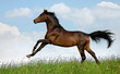 Bay Trakehner horse gallops in field