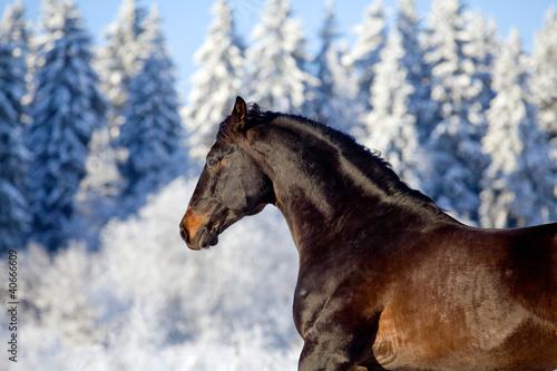 Bay Trakehner Koń uruchomiony w zimie