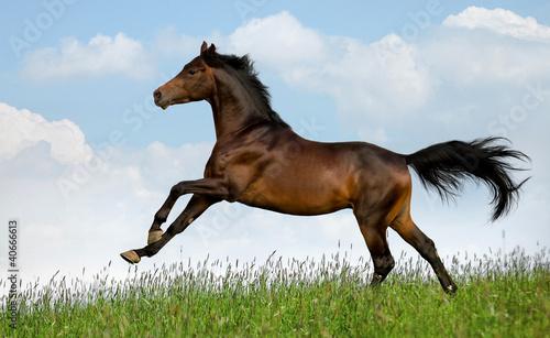Bay Trakehner koń galopuje w dziedzinie