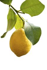 Zitrone am Baum - freigestellt