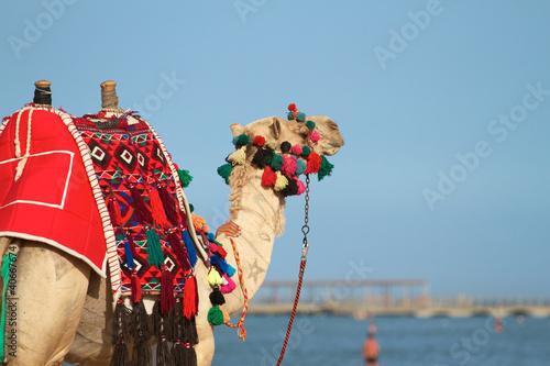 Fototapeten,kamel,afrika,arabian,dromedar