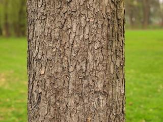 Baumstamm einer Rosskastanie