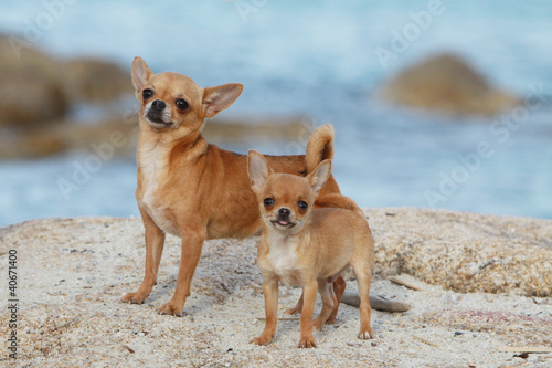 mummy and puppy chihuahua