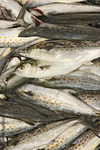 Fresh catch of Spanish mackerel vertical