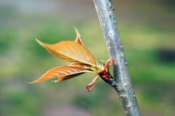 rebento de árvore