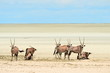 group of oryx on Etosha pan