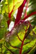 Bietola rossa 2