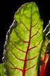 Foglia di Bietola rossa 2