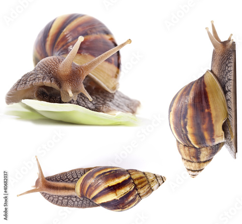Giant land snail, Achatina fulica, on white background