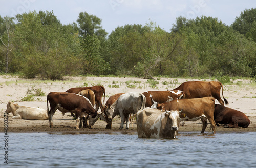 Cows at a riverbank