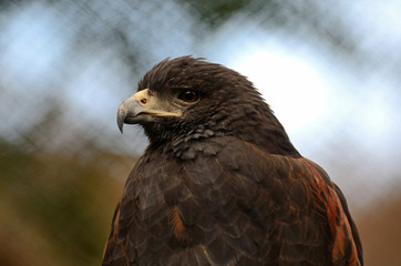 Harris Hawk Close Up