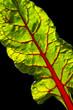 Foglia di Bietola rossa 3
