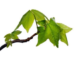 folhas de ácer