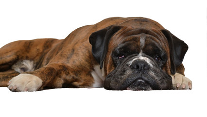 sad dog on white background