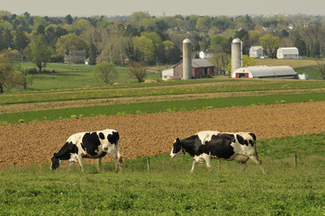 dairy cows farm