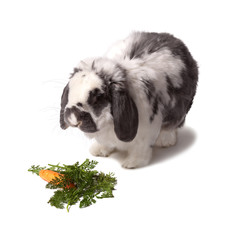 Cute Grey and White Bunny Rabbit With Carrot and Greens On White