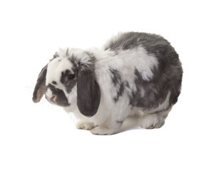Cute Grey and White Bunny Rabbit Facing Left On White