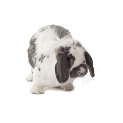 Cute Grey and White Bunny Rabbit Facing Right On White