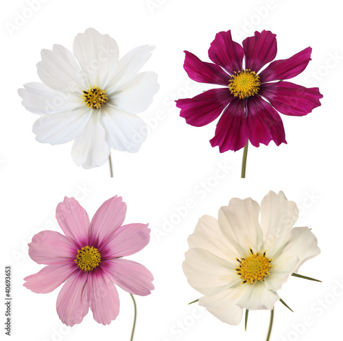 Aluminium Dahlia collection of four cosmos daisies isolated on white background