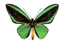 green papilio