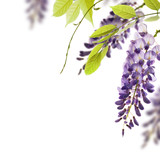 glycine de chine - bordure. Wisteria