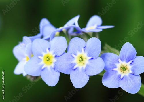 勿忘草Myosotis_Forget-me-not
