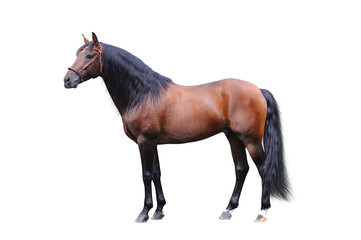 Andalisian stallion on a white background