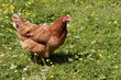 Brown hen (Gallus) walking on grass