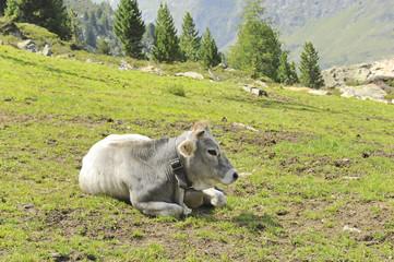 bovino bianco - pascolo