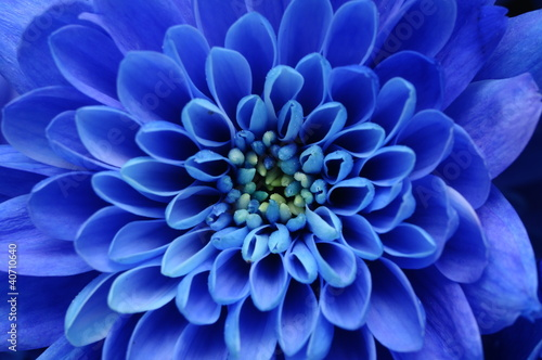 Foto op Aluminium Macro Close up of blue flower : aster with blue petals