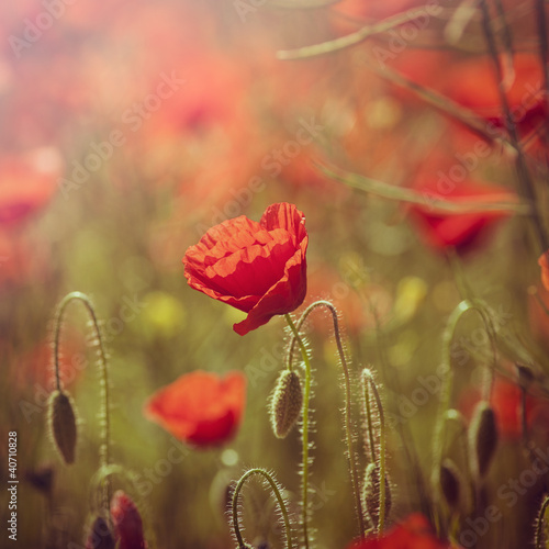 Field of Red Poppies © B. and E. Dudziński