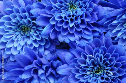 Deurstickers Macro Close up of blue flower : aster with blue petals