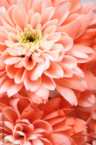 Foto op Canvas Macro Close up of pink flower : aster with pink petals