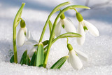 Fototapety Spring snowdrop flowers