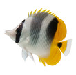 marine fish  butterflyfish reef fish on white background