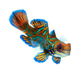 mandarin dragonet isolated on white background