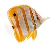 Havsfisk näbb Pincettfisk isolerat på vit
