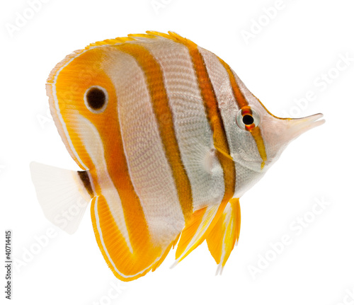 Papiers peints Papillon marine fish beak copperband butterflyfish isolated on white
