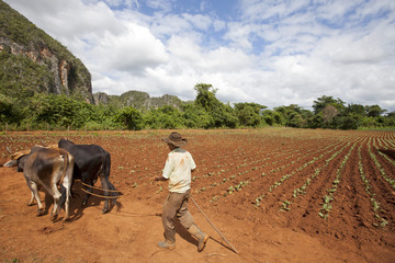 The Farmer in Vinales Valley, Cuba