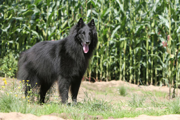 berger belge dans le champ de maïs - groenendael