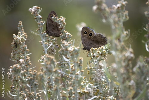A Pair of Common Wood Nymph Butterflies
