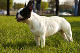French Bulldog playing fetch in a park. poster