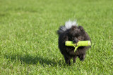 Black pomeranian (or Pom Pom) playing fetch in the park poster