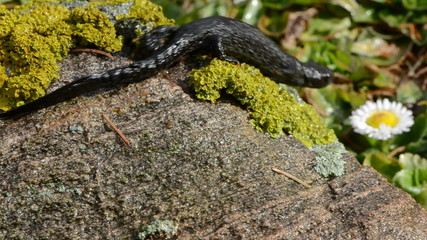 Great Crested Newt in early spring after winter