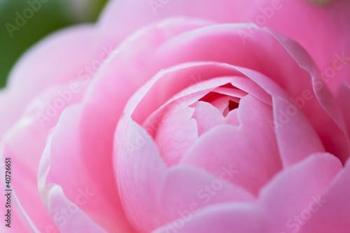 flower(Camellia_japonica)_45