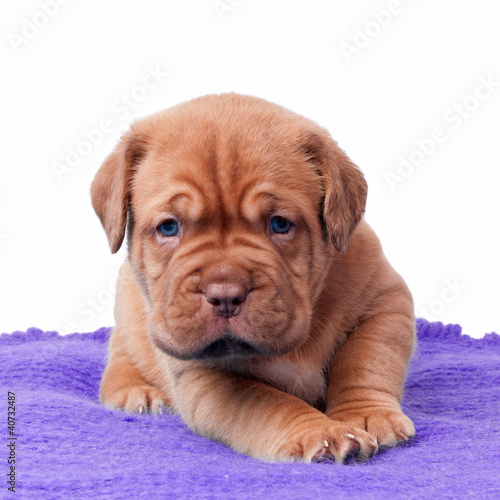 Newborn mastiff puppy