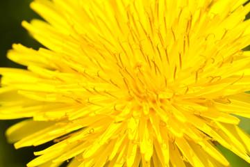 flower[dandelion]_63