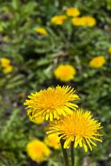 flower[dandelion]_66