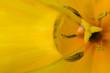 flower[tulip]_06
